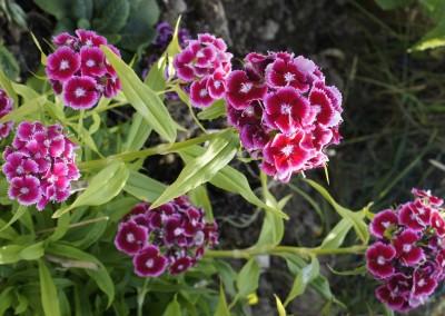 Dublin Allotment Flowers