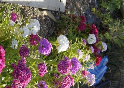 Dublin Allotment Summer Flowers