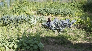Dublin Allotment Cabbage